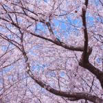 桜満開@姫路城2014・桜|castlehimeji.com